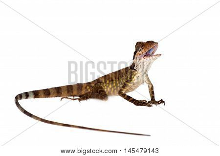 Gonocephalus grandis lizard isolated on white background