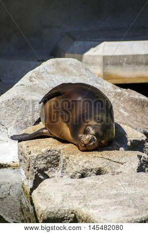 South american sea lion in the Munich zoo (Tierpark Hellabrunn)