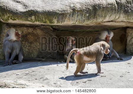 Hamadryas baboons in the Munich zoo (Tierpark Hellabrunn)