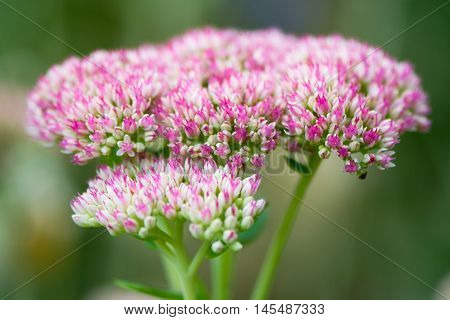 Sedum spectabile 'iceberg' pink and white flowers. Inflorescence of plant aka Hylotelephium spectabile ice plant showy stonecrop and butterfly stonecrop in family Crassulaceae