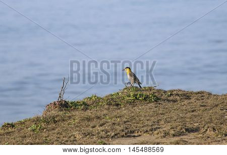 Woodpecker on the field , on the sea shore