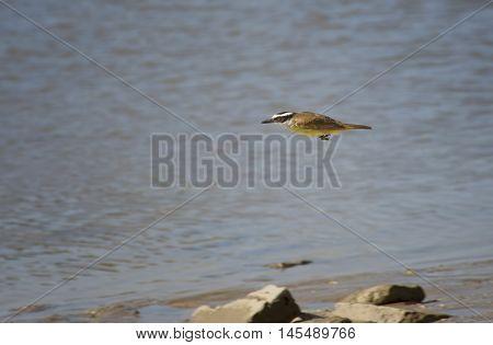 tyrant flycatcher bird flying low in the lagoon