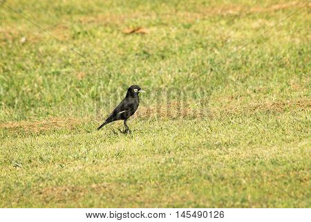 Spectacled tyrant bird perched on the grass field