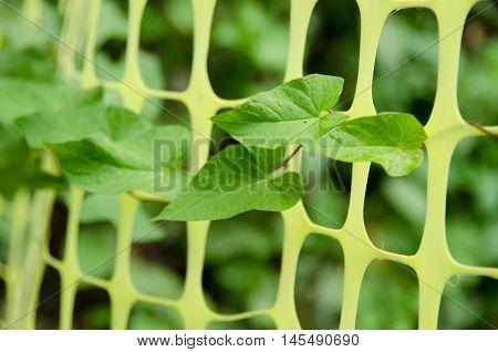 Green Leaves Pushing Thru Green Fence