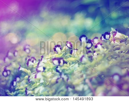 Floral abstract background.Blurred flower soft style with vintage filter effect. Wishbone flower (Torenia fournieri)violet tiny meadow.