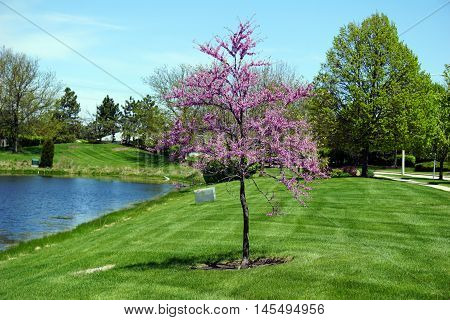 A redbud (Cercis canadensis) blooms near a small lake in Joliet, Illinois during May.