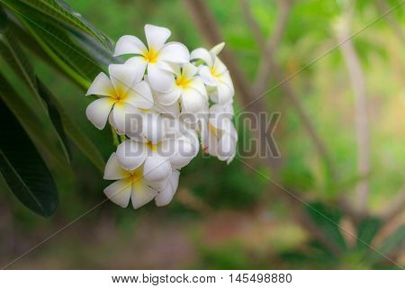 White Plumeria or frangipani. Sweet scent from white Plumeria flowers in the garden. Plumeria flowers in nature.(selective focusvintage effect)