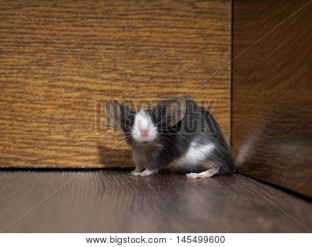 Gray-white furry mouse on the floor in the room. Pink nose long whiskers and ears. Funny animals