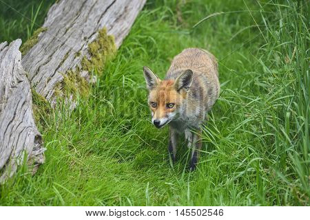 Stunning Image Of Red Fox Vulpes Vulpes In Lush Summer Countryside Landscape