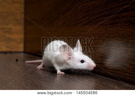 White mouse sits on the floor. Portrait of a rodent