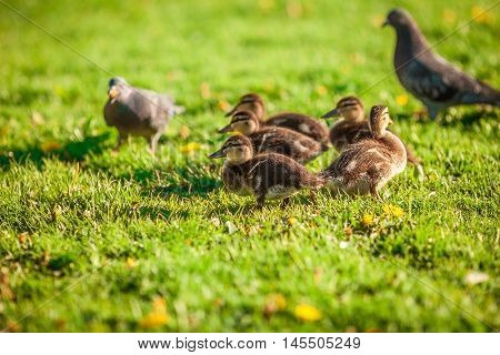 Small cute ducklings walking at the park