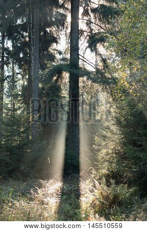 Image of the spruce tree in morning backlight