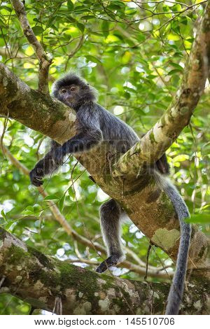 Silvered leaf langur monkey in Bako National Park, Borneo, Malaysia