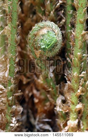Macro shot of the fern sprout - detail