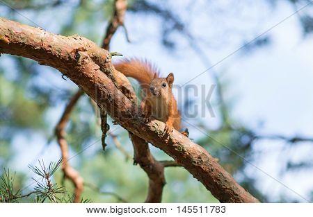 Red squirrel on the tree. Sciurus vulgaris.