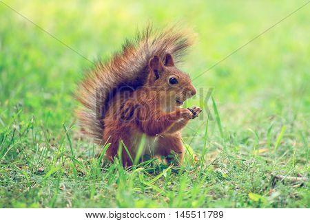 Red squirrel eating hazelnut in the park. Sciurus vulgaris.