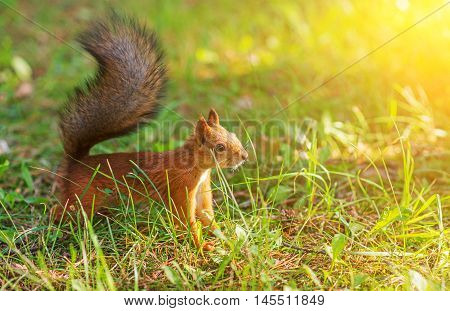 Red Squirrel In The Forest. Sciurus Vulgaris. Place For Text.