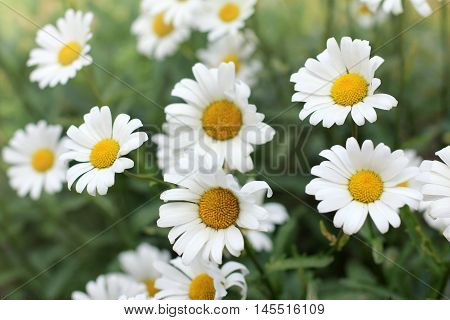 background with daisies growing in the flowerbed / plurality of chamomile flowers
