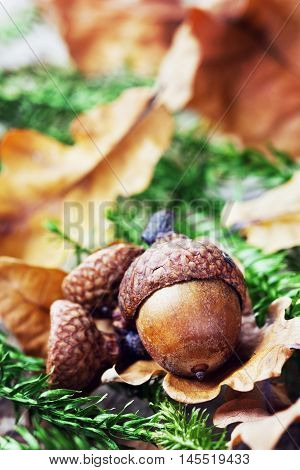 Autumn background or wallaper with acorns, oak leaves and fir tree. Macro.