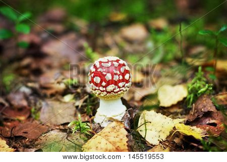 Fly-agaric in autumn forest. Poisonous and toxic mushroom used in medicine.