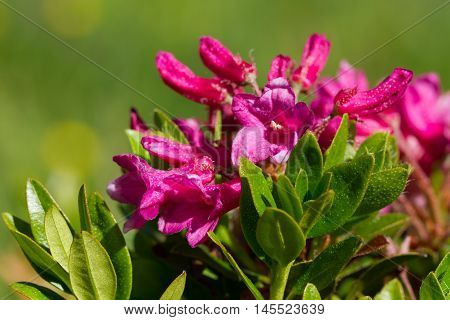 Alpenrose flowers in close up (Rhododendron ferrugineum)