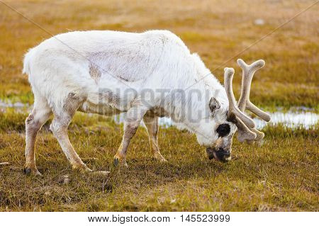Reindeer eating grass and moss at Svalbard. Summer in the arctic environment near Longyearbyen.