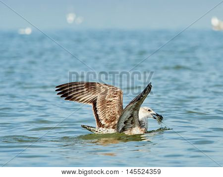 Common gull with fish in its beak on the sea