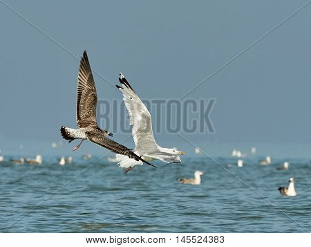 Common gull flying in tandem with a white seagull
