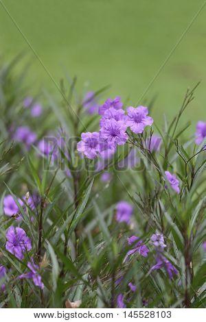 Beautiful of purple Ruellia tuberosa flower or popping pod bloom in public garden.