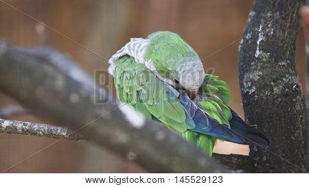 Beautiful Monk Parakeet (Myiopsitta Monachus) Cleaning Itself