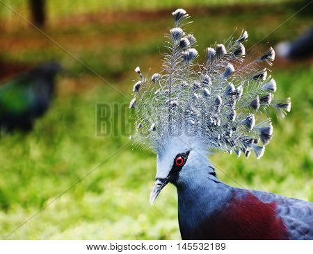 Western crowned pigeon common crowned pigeon or blue crowned pigeon