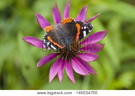 red admiral butterfly on echinacea natural macro backgound