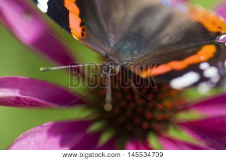 red admiral butterfly on magenta flower macro