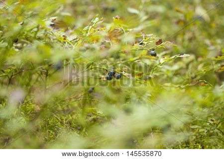 autumnal foraging background with bilberry bushes with berries