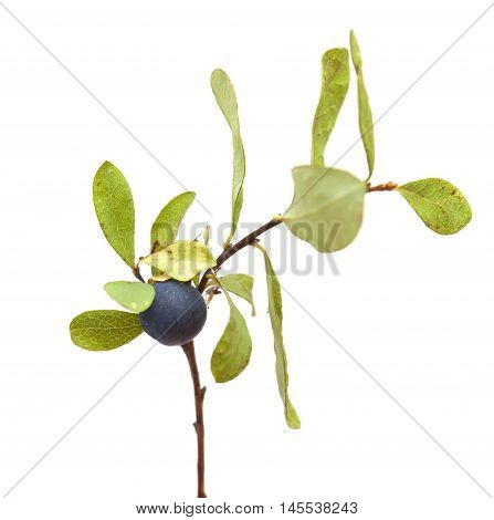 Vaccinium Uliginosum, Bog Bilberry
