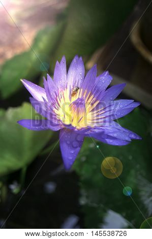 Close Up Blue Purple Lotus Flower With Water Drop Of Rain And Little Honey Bee In Pollen Of Lotus On