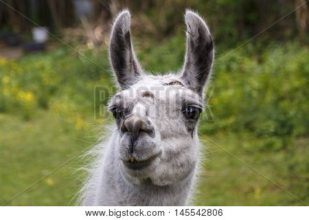 Head of a gray-haired llama in Roemhild (Thuringia)