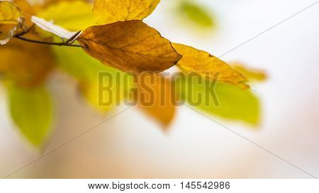 Autumn Background Of Colorful Leaves Of Beech