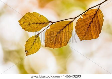 Brown Autum Leaves Of Beech