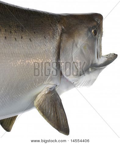 Chinook Salmon Head And Body