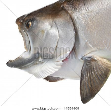 Closeup Of Chinook Salmon Head