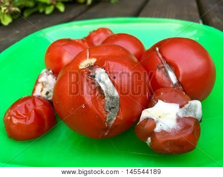 Rotten Tomatoes on a green plate for composting