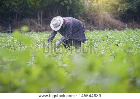 Thai Local Farmer Harvesting A Sweet Potato(yams) In A Field,filtered Image,selective Focus
