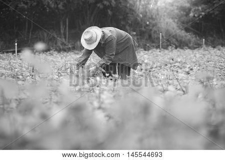 Thai Local Farmer Harvesting A Sweet Potato(yams) In A Field,filtered Image,selective Focus,black An