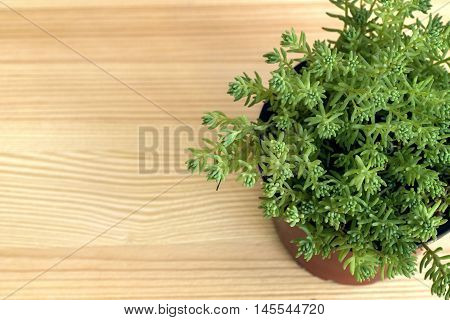 Green home plant on the  wooden background