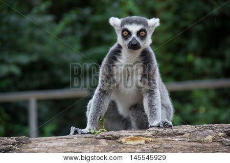 Closeup of a ring tailed lemur (Lemur catta)