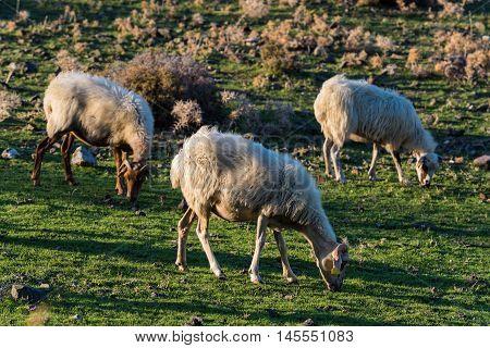 Three sheep graze in a green field at sunset in Kos island, Greece