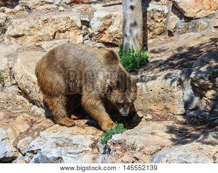 Syrian Bear  Walking Around And Looking For Food