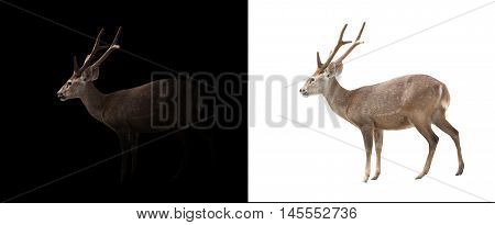 Hog Deer On Dark And White Background