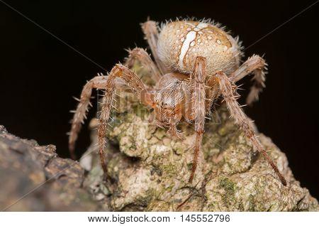 spider, brown, black, macro, insect, predator, close